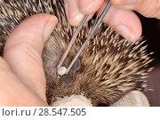 Купить «Hedgehog tick (Ixodes hexagonus) removal from a Hedgehog (Erinaceus europaeus) with tweezers, Chippenham, Wiltshire, UK, August 2017. Model released.», фото № 28547505, снято 19 июля 2018 г. (c) Nature Picture Library / Фотобанк Лори