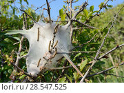 Купить «Lackey moth (Malacosoma neustria) caterpillars on silk tent shrouding a bush they are defoliating, Cornwall, UK, April.», фото № 28547525, снято 13 декабря 2018 г. (c) Nature Picture Library / Фотобанк Лори