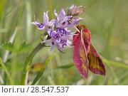 Купить «Small elephant hawk-moth (Deilephila porcellus) on Common spotted orchid (Dactylorhiza fuchsii) Wiltshire, UK, May.», фото № 28547537, снято 22 июля 2018 г. (c) Nature Picture Library / Фотобанк Лори