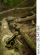 Купить «Yellow-striped poison dart frog (Dendrobates truncatus) in the Cartagena Botanical Gardens, Colombia.», фото № 28547561, снято 29 мая 2020 г. (c) Nature Picture Library / Фотобанк Лори