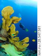 Купить «Elephant ear sponge (Ianthella basta) with a scuba diver swimming in he background, Gorgonia Wall Reef, Cabilao Island, Bohol, Central Visayas, Philippines, Pacific Ocean.», фото № 28547581, снято 18 сентября 2018 г. (c) Nature Picture Library / Фотобанк Лори