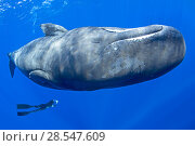 Купить «Sperm whale (Physeter macrocephalus) with a free diver swimming, Dominica, Caribbean Sea, Atlantic Ocean, Vulnerable species.», фото № 28547609, снято 19 августа 2018 г. (c) Nature Picture Library / Фотобанк Лори