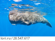 Купить «Sperm whale (Physeter macrocephalus) surfacing, Dominica, Caribbean Sea, Atlantic Ocean, Vulnerable species.», фото № 28547617, снято 19 августа 2018 г. (c) Nature Picture Library / Фотобанк Лори
