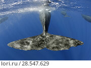 Купить «Sperm whale (Physeter macrocephalus) tail below water as whale surfaces, Dominica, Caribbean Sea, Atlantic Ocean, Vulnerable species.», фото № 28547629, снято 18 июля 2018 г. (c) Nature Picture Library / Фотобанк Лори