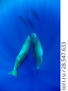 Купить «Sperm whale (Physeter macrocephalus) pod with two interacting, Dominica, Caribbean Sea, Atlantic Ocean, January, Vulnerable species.», фото № 28547633, снято 19 августа 2018 г. (c) Nature Picture Library / Фотобанк Лори