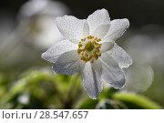 Купить «Wood anemone (Anemone nemorosa) covered in dew drops, Vosges, France, March.», фото № 28547657, снято 15 августа 2018 г. (c) Nature Picture Library / Фотобанк Лори