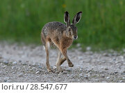 Купить «Brown hare (Lepus europaeus) running, Vosges, France, May.», фото № 28547677, снято 21 июля 2018 г. (c) Nature Picture Library / Фотобанк Лори