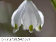 Купить «Spring snowflake flower (Leucojum vernum) close up, Vosges, France, March.», фото № 28547689, снято 21 сентября 2018 г. (c) Nature Picture Library / Фотобанк Лори