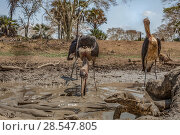 Купить «Marabou storks (Leptoptilos crumenifer) hunting Sharpooth catfish (Clarias gariepinus) in the dried up  Mussicadzi River.  In the background a bushbuck...», фото № 28547805, снято 23 июля 2018 г. (c) Nature Picture Library / Фотобанк Лори