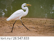 Купить «Great egret (Ardea alba) walks with a small fish it has captured in the Msicadzi River, Gorongosa National Park, Mozambique», фото № 28547833, снято 14 июля 2020 г. (c) Nature Picture Library / Фотобанк Лори