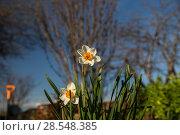 Купить «Нарциссы в весеннем саду», фото № 28548385, снято 3 мая 2018 г. (c) Ольга Сейфутдинова / Фотобанк Лори
