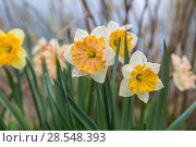 Купить «Нарциссы в весеннем саду», фото № 28548393, снято 4 мая 2018 г. (c) Ольга Сейфутдинова / Фотобанк Лори