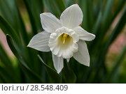 Купить «Нарциссы в весеннем саду», фото № 28548409, снято 4 мая 2018 г. (c) Ольга Сейфутдинова / Фотобанк Лори