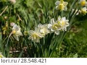 Купить «Нарциссы в весеннем саду», фото № 28548421, снято 5 мая 2018 г. (c) Ольга Сейфутдинова / Фотобанк Лори