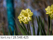 Купить «Нарциссы в весеннем саду», фото № 28548425, снято 5 мая 2018 г. (c) Ольга Сейфутдинова / Фотобанк Лори