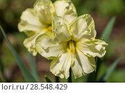 Купить «Нарциссы в весеннем саду», фото № 28548429, снято 5 мая 2018 г. (c) Ольга Сейфутдинова / Фотобанк Лори