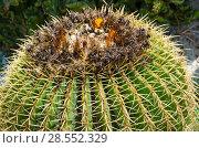 Купить «Кактус крупным планом», фото № 28552329, снято 8 мая 2018 г. (c) Ольга Коцюба / Фотобанк Лори