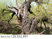 Купить «Старая упавшая ветла», фото № 28552897, снято 5 мая 2018 г. (c) Владимир Федечкин / Фотобанк Лори