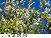Купить «Цветущая черёмуха (лат. Prunus padus) на фоне голубого неба. BLossoming Bird Cherry tree (Prunus padus)», фото № 28553345, снято 9 мая 2018 г. (c) Ольга Сейфутдинова / Фотобанк Лори