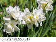 Купить «White narcissus (Narcissus poeticus)», фото № 28553817, снято 7 мая 2018 г. (c) Ольга Сейфутдинова / Фотобанк Лори