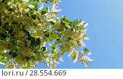 Купить «Соцветия липы колышутся на ветру на фоне синего неба в солнечный день», видеоролик № 28554669, снято 6 июня 2018 г. (c) FMRU / Фотобанк Лори