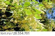 Купить «Соцветия липы колышутся на ветру в солнечный день», видеоролик № 28554701, снято 6 июня 2018 г. (c) FMRU / Фотобанк Лори