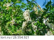 Купить «Цветущая белая акация», фото № 28554921, снято 28 мая 2018 г. (c) Елена Коромыслова / Фотобанк Лори