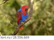 Купить «Eclectus parrot (Eclectus roratus) female, captive Captive.», фото № 28556669, снято 18 августа 2018 г. (c) Nature Picture Library / Фотобанк Лори
