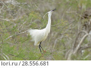 Купить «Little egret (Egretta garzetta) on vegetation, Camargue, France, April.», фото № 28556681, снято 27 января 2020 г. (c) Nature Picture Library / Фотобанк Лори