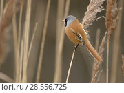 Купить «Bearded tit or bearded reedling (Panurus biarmicus) adult male perched on common reed (Phragmites australis). Norfolk, England. February», фото № 28556725, снято 17 августа 2018 г. (c) Nature Picture Library / Фотобанк Лори