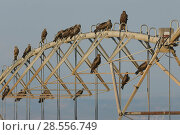 Купить «Black kites (Milvus migrans) perched on agricultural irrigation pipes. Hula Valley, Israel. November.», фото № 28556749, снято 17 августа 2018 г. (c) Nature Picture Library / Фотобанк Лори