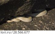 Водяной уж на побережье Каспийского моря. Dice snake on the coast of the Caspian sea. Стоковое видео, видеограф Евгений Романов / Фотобанк Лори