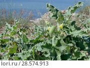 Купить «Squirting cucumber (Ecballium elaterium) flowering in roadside scrubland bordering a coastal lagoon, with some fruits developing, near Nafplio, Argolis, Peloponnese, Greece, July.», фото № 28574913, снято 17 июля 2018 г. (c) Nature Picture Library / Фотобанк Лори