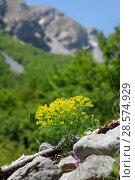 Купить «Cypress spurge (Euphorbia cyperissias), Apennines, Italy. Apennines, Italy, May.», фото № 28574929, снято 23 октября 2019 г. (c) Nature Picture Library / Фотобанк Лори