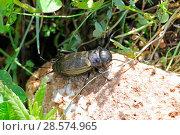 Купить «Field Cricket (Gryllus campestris) female. Apennines, Italy, May.», фото № 28574965, снято 29 мая 2020 г. (c) Nature Picture Library / Фотобанк Лори