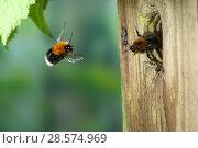 Купить «Tree bumblebee (Bombus hypnorum) worker approaching nest in bird box. Surrey, England, UK, May.», фото № 28574969, снято 19 июня 2018 г. (c) Nature Picture Library / Фотобанк Лори