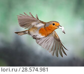 Купить «European Robin (Erithacus rubecula) flying from nest with faecal sac, Surrey, England, UK.», фото № 28574981, снято 17 июля 2018 г. (c) Nature Picture Library / Фотобанк Лори