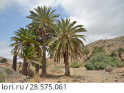 Купить «Canary island date palm trees (Phoenix canariensis) beside dry river bed, Vega de Rio Palmas, Fuerteventura, Canary Islands, June.», фото № 28575061, снято 21 октября 2018 г. (c) Nature Picture Library / Фотобанк Лори