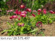 Купить «Красные маргаритки многолетние (лат. Bellis perennis) цветут в саду», фото № 28575497, снято 22 мая 2018 г. (c) Елена Коромыслова / Фотобанк Лори
