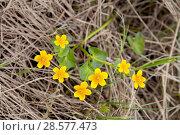 Купить «Яркие желтые цветы калужницы болотной на фоне сухой прошлогодней травы», фото № 28577473, снято 3 июня 2018 г. (c) Наталья Осипова / Фотобанк Лори