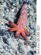 Купить «A 'Comet' , a regenerating Luzonicus starfish (Echinaster luzonicus) with Comb jellies (Coeloplana astericola).  Ambon, Indonesia.», фото № 28585921, снято 19 сентября 2018 г. (c) Nature Picture Library / Фотобанк Лори