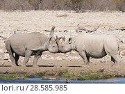 Купить «Black rhino (Diceros bicornis) greeting behaviour, Etosha National Park's savannah, Namibia», фото № 28585985, снято 18 августа 2018 г. (c) Nature Picture Library / Фотобанк Лори