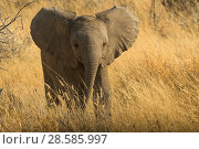 Купить «Young African elephant (Loxodonta Africana) with ears spread  in aggressive posture Etosha National Park, Namibia», фото № 28585997, снято 19 августа 2018 г. (c) Nature Picture Library / Фотобанк Лори
