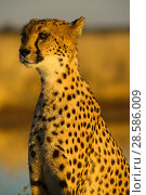 Купить «African cheetah (Acinonix jubatus) adult female, Nambia. Captive rescued individual.», фото № 28586009, снято 18 августа 2018 г. (c) Nature Picture Library / Фотобанк Лори