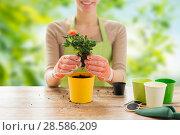 Купить «close up of woman planting rose to flower pot», фото № 28586209, снято 3 марта 2015 г. (c) Syda Productions / Фотобанк Лори