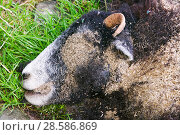 Купить «Maggots on a dead sheep», фото № 28586869, снято 20 августа 2018 г. (c) Nature Picture Library / Фотобанк Лори