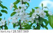 Купить «Apple-tree in bloom», видеоролик № 28587569, снято 13 июня 2018 г. (c) Игорь Жоров / Фотобанк Лори