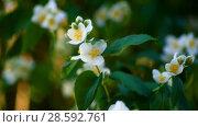 Купить «Blossoming jasmine flowers», видеоролик № 28592761, снято 14 июня 2018 г. (c) Peredniankina / Фотобанк Лори