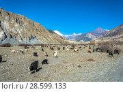 Купить «Large herd of sheep and goats in the mountain landscape, Nepal», фото № 28599133, снято 3 апреля 2018 г. (c) Валерий Смирнов / Фотобанк Лори