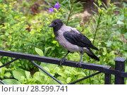 Купить «Серая ворона на ограде газона», эксклюзивное фото № 28599741, снято 18 июня 2018 г. (c) Александр Щепин / Фотобанк Лори